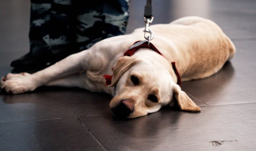 Why Are Service Dogs Allowed In Walmart?