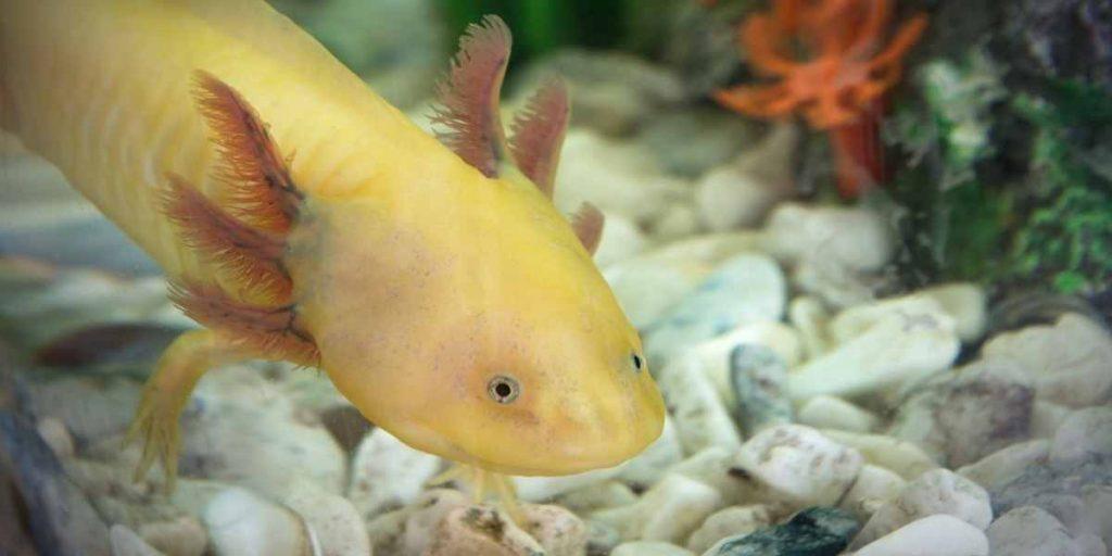 Does PetSmart Sell Axolotls