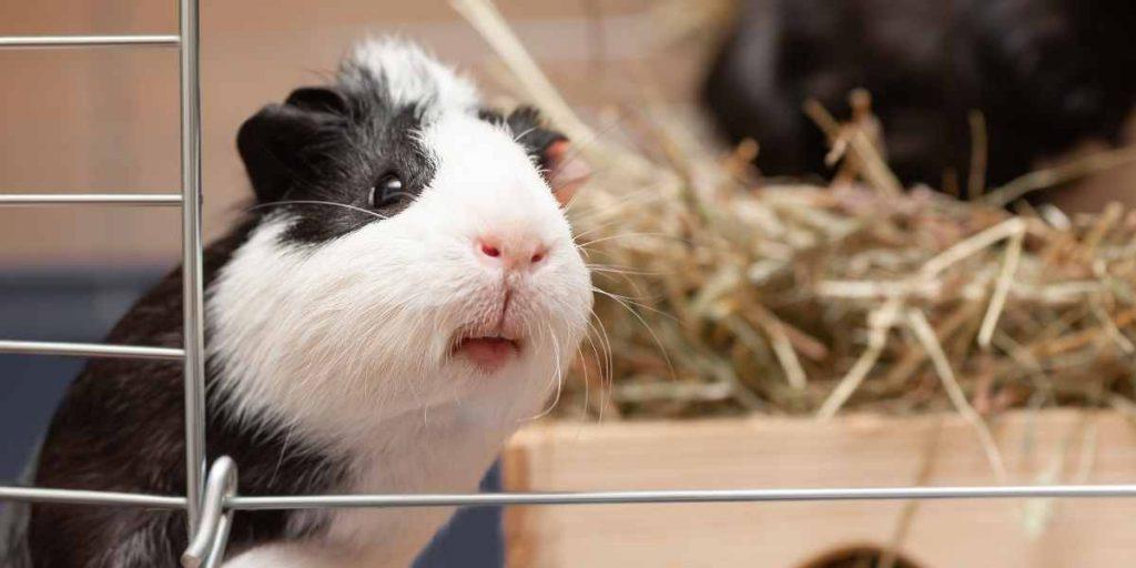Does PetSmart Groom Guinea Pigs